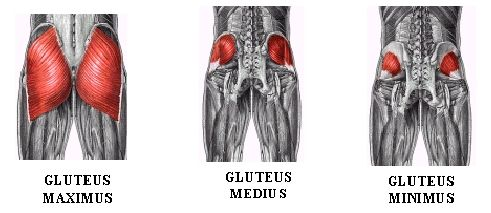 Gluteus muscles anatomy